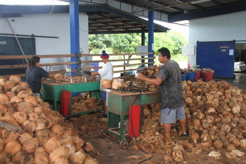 Første fase i processen er at tjekke kokosnøddernes kvalitet og klargøre dem til at blive flækket